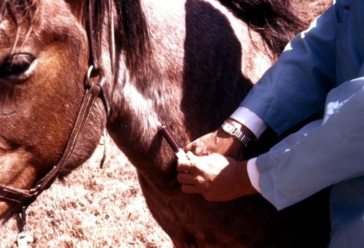 clinician-is-bleeding-a-horses-jugular-vein-to-test-it-for-the-arboviral-disease-725x493