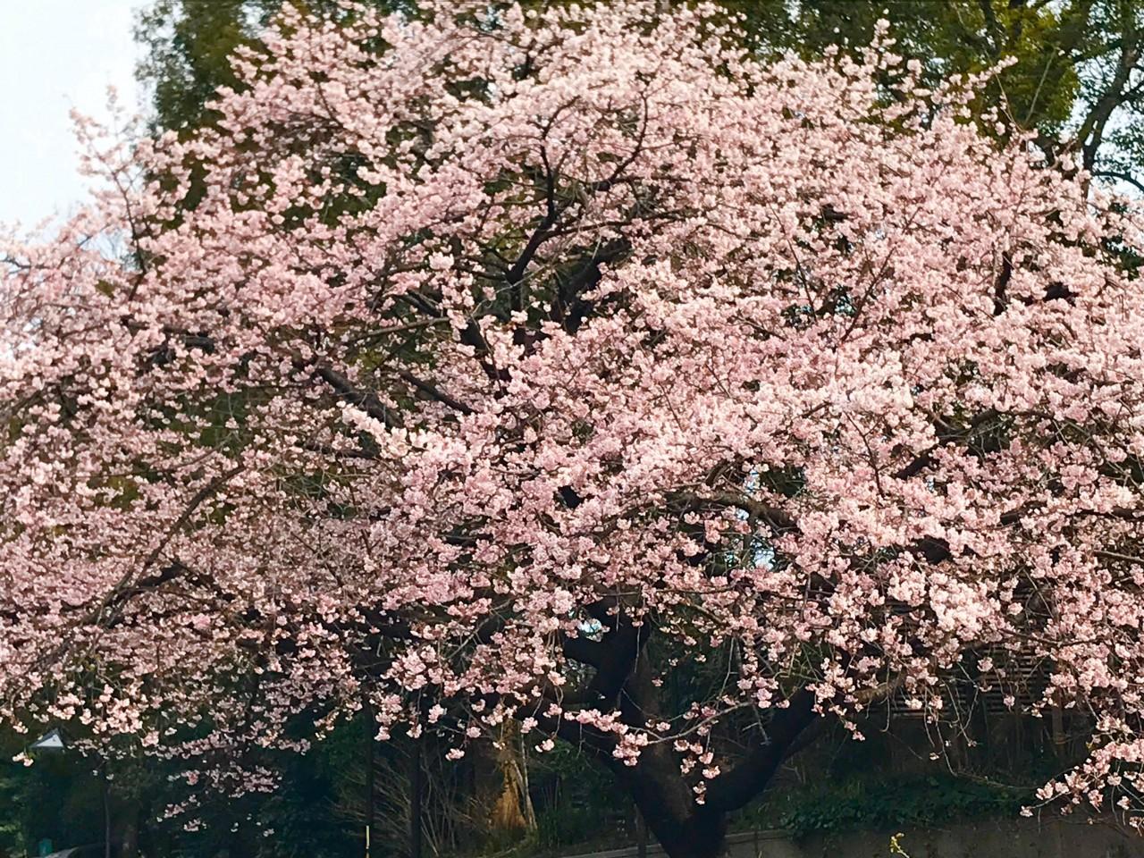 2020.3月 ueno恩賜公園のカンザクラ