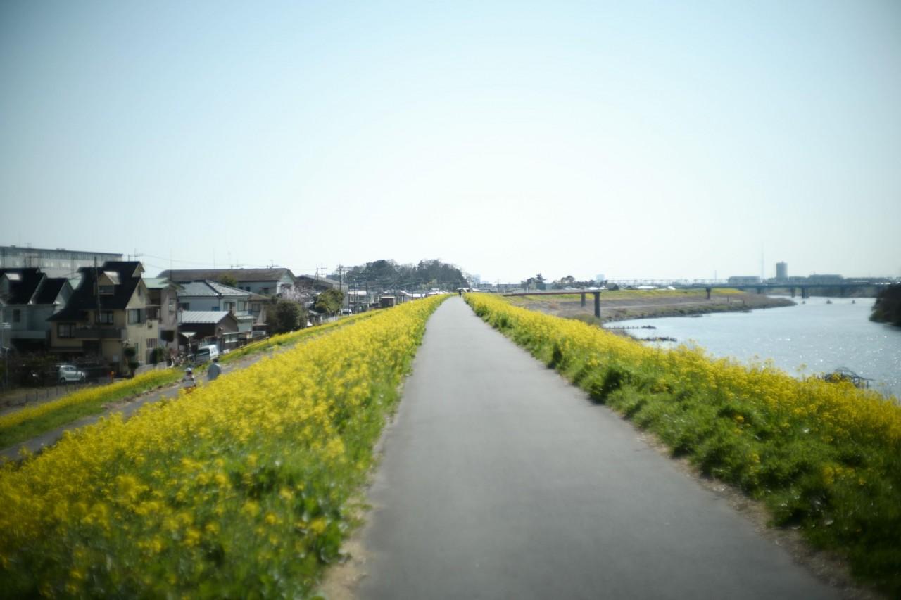 江戸川沿いの菜の花ロード
