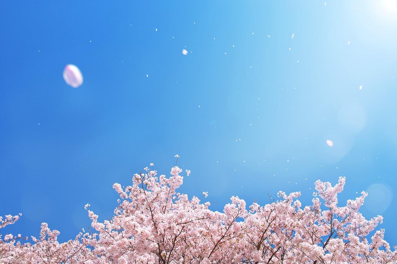 cherry-blossom_00013