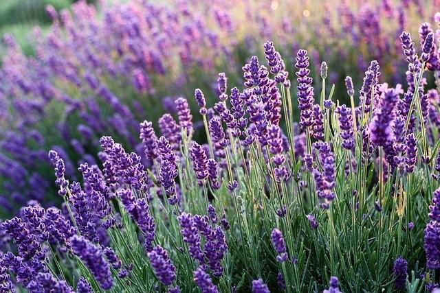 lavenders-6482579_640